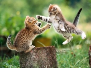 Source: http://animal-backgrounds.com/animals/cats-fighting-animal-wallpaper.html and 1,196 other sites.