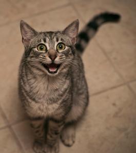 http://cutestcatpics.com/excited-grey-cat/