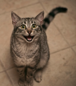 http://cutestcatpics.com/excited-grey-cat/