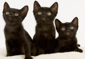 Bombay-cat-3