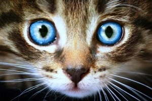 2-1 INTRO cats-big-blue-eyes-cat-animals-free-wallpapers-736x491